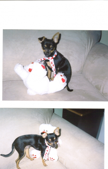 Chihuahua, 7 months, black/tan, energetic, smart, loyal