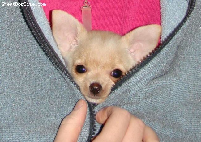 Chihuahua, 12wks, white/tan, This beautiful little girl is for sale to the right home