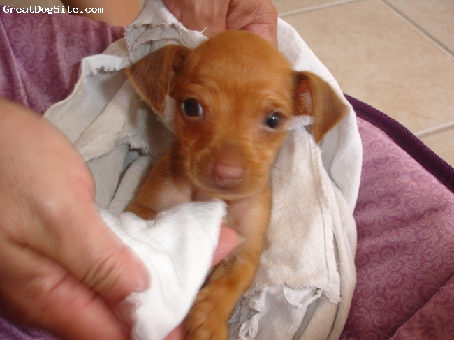 Chihuahua, 6 weeks, light brown, she is a small puppy