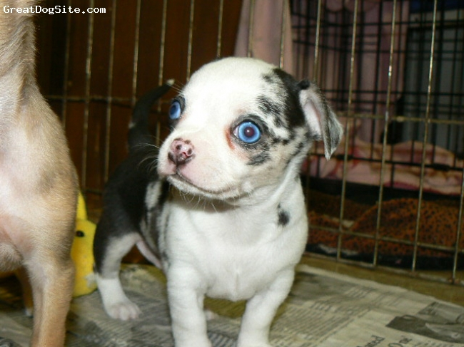 Chihuahua, 8 weeks, Merles, Black Merle with Blue eyes