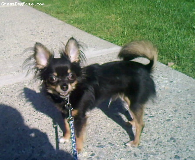 """Chihuahua, 8 months, Tri-Colored, This is my little peanut """"Gizmo"""". He's such a character and I love him with all my heart. They really are the best dogs..."""