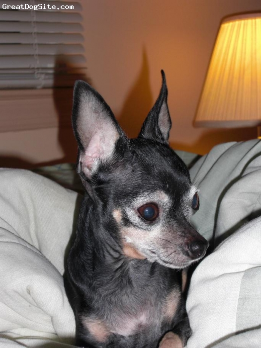 Chihuahua, 9  1/2, Black, Tan & Grey, Cheech weighs just under 4 pounds and is 9 and a half years-old. She's been my constant companion when I'm at home and seems to exist solely to please me in all that she does. She is the most loyal and affectionate dog that I've owned in over 35 years!