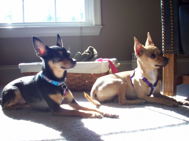 Chihuahua, 3 & 2, Black/Tan & Tan, Thes are my two lil' chi's. They are my world. I love the so much & they bring me so much joy.