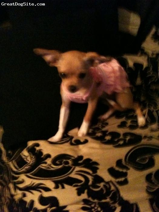Chihuahua, 6 months, tan, bella