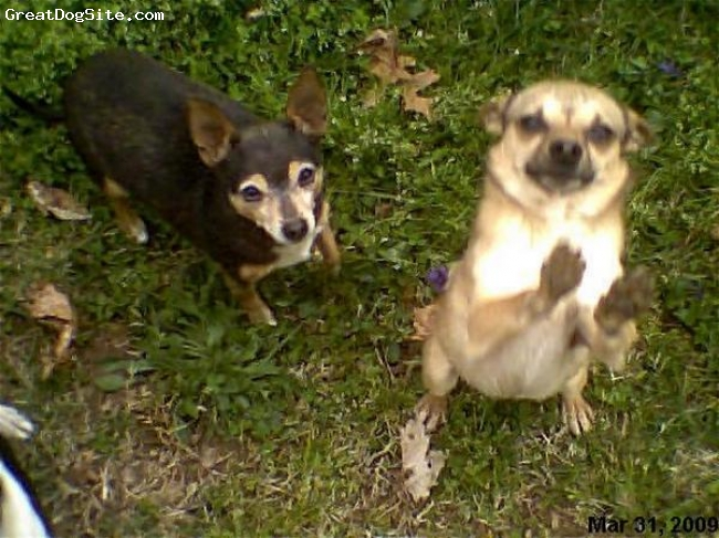 Chihuahua, 3 year and 5 year, Black and tan and brown with black marking, Trixie is my female tan and brown laid back and protective girl and Chipper is my male brown with black mask and some white marking out-going loveable boy. They are both my chihuahuas and part of family