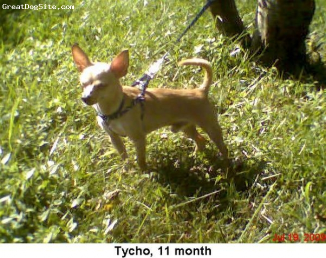Chihuahua, 11 month, Creame, He is very energic little dog weighing 3.5lb. He is loveable and LOVES other dogs that he would play tag or beg to play with him. Not a mean bone in his body. And he really loves attention...