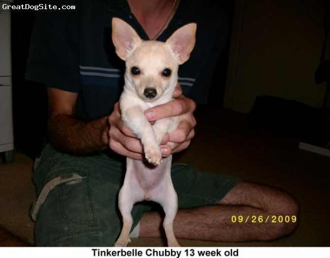 Chihuahua, 3 month old, Ivory/Tan, She's getting little bit long than it is tall. She is small but dued to feeding time, she tend to get chubby. Laid back and Loves attentions but also playful.