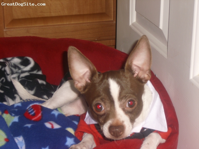 Chihuahua, 2 years, white with brown head, Petey is not your average Chi...he is very friendly and loves other dogs!!  He's not to fond of children, they can be a little rough with him!  He loves playing fetch with his tennis ball and his favorite toy is a crumbled up water bottle!!