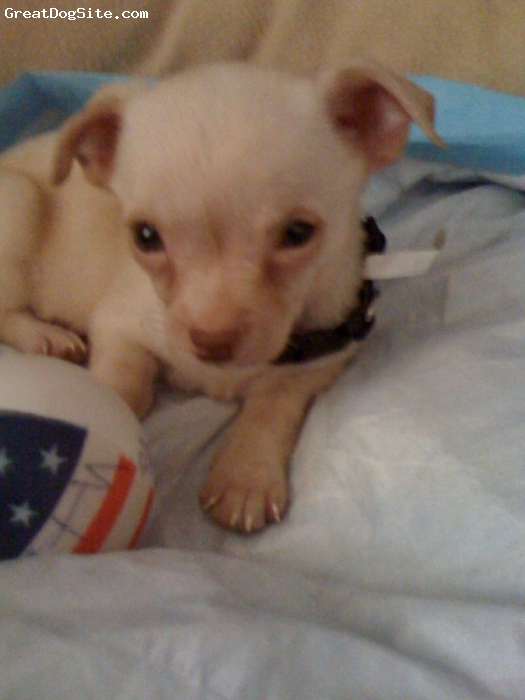 Chihuahua, 6 weeks, tan, Cute, from Crystal Springs,MS!