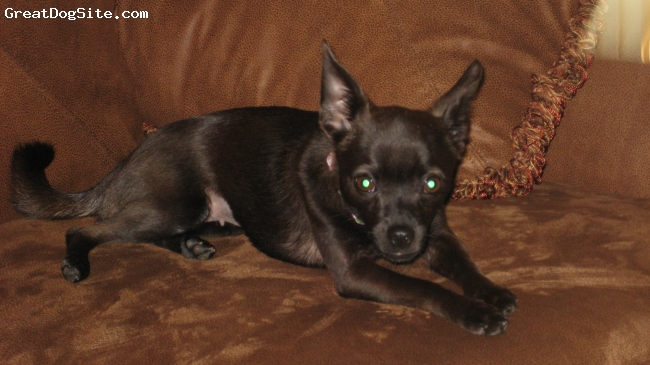 Chihuahua, 2 years, Black, Lia was rescued from euthenasia.  We adopted her last week & she's settled in beautifully. She's playful & loving.