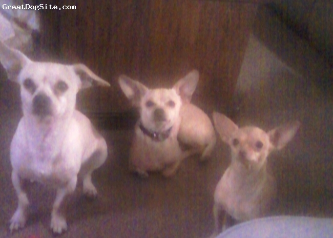 Chihuahua, 2 , 2 , 9months, fawn , cinnimon, daddy son mommy I LOVE MY KIDDIES! STILL DEFF DO WE PART!