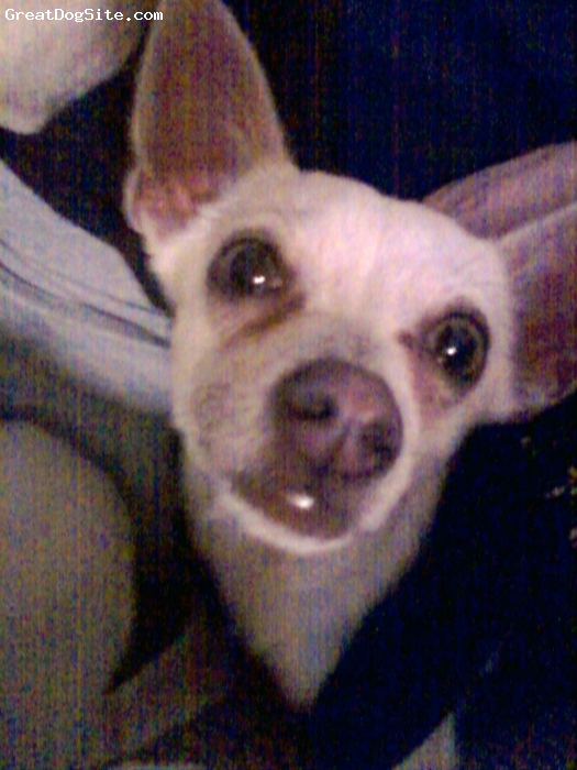 Chihuahua, 10 months, cream, rescue chihuahua...when we got her she was very hungry in poor health scared & did not get along at all w/ our other chihuahuas..now she is very happy plays well w/ my other chihuahuas i love her to pieces nd i will never understand how ppl can mistreat animals!