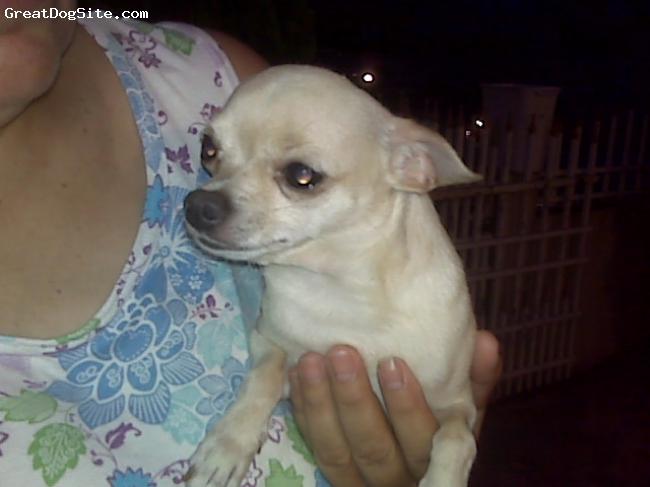 Chihuahua, 2 yrs old, light tan, Lupita's brother