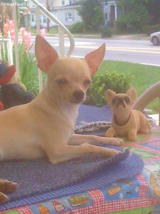 Chihuahua, 2 y/o, Tan, SPOILED BRAT!