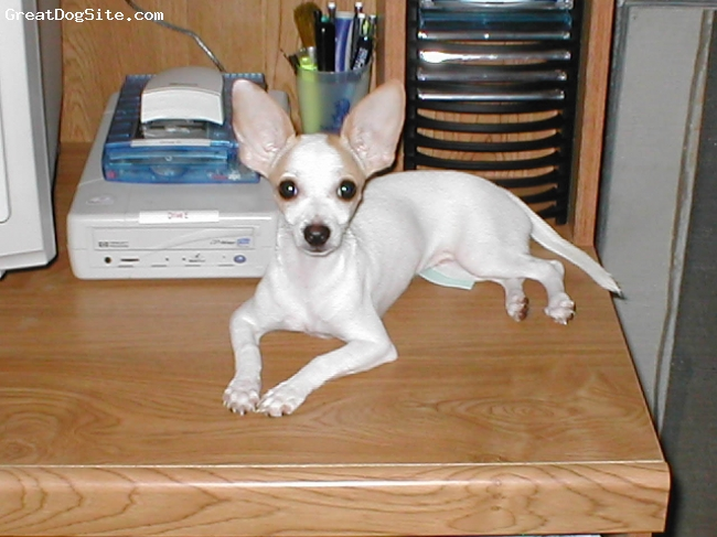 Chihuahua, 7 y/o, White w/tan spots, Any one needs an email sent or a letter typed?