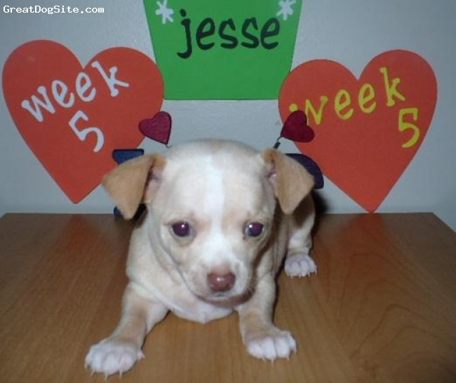 """Chihuahua, 4 months old, cream with a white blaze on forehead, Jesse is an amazing dog!  He is so intelligent.  At 8 weeks old I had trained him to sit for a treat.  He has now learned to fetch and drop his toy. He is pee pad trained with no accidents.  He understands the verbal command """"go for a walk"""" and gets very excited.  Whoever said Chi's are dumb are wrong.  We love him very much."""