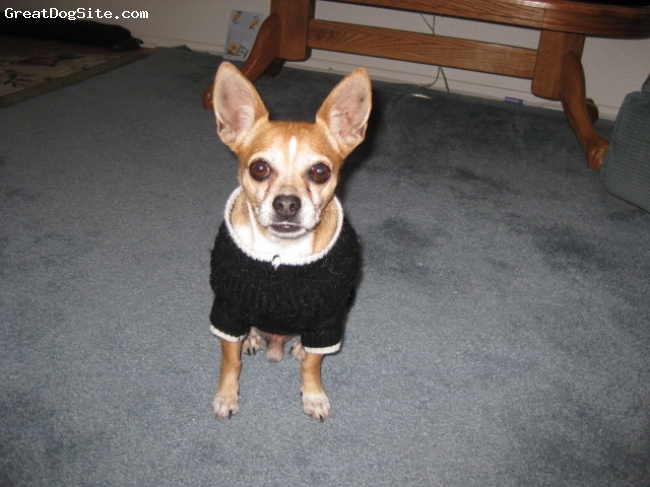 Chihuahua, 6 years, Fawn and White, Adopted August 2008 he is wonderful
