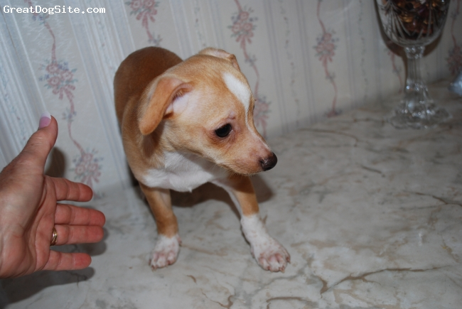 Chihuahua, about 8 weeks, brown and white, sweet, likes skeaky toys
