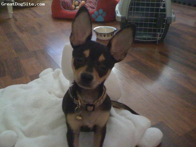 Chihuahua, 6 months, Black and Tan, Lovin, spuncky melt my heart Chi Chi!