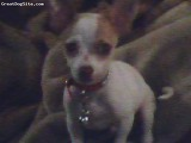 Chihuahua, 2, whiteandbrown, my mijo