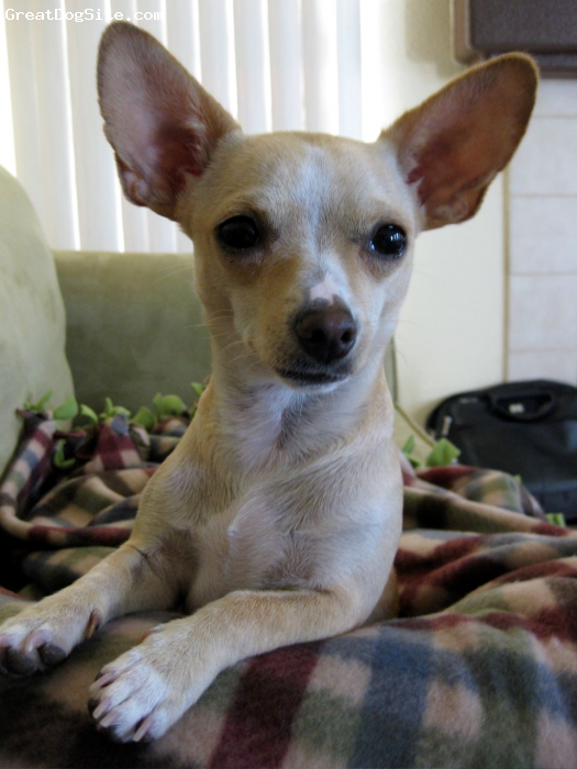 Chihuahua, 1.5, Tan, I have big ears