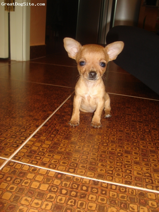 Chihuahua, 2.5 months, fawn, She's a sweet dog