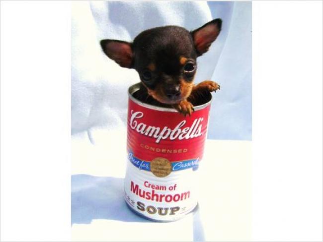 Chihuahua, puppy, brown, cute