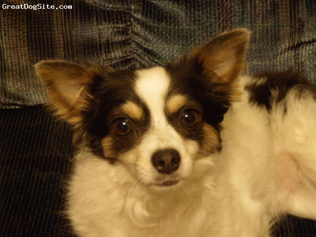 Chihuahua, 4 years, Black and white, He is so sweet