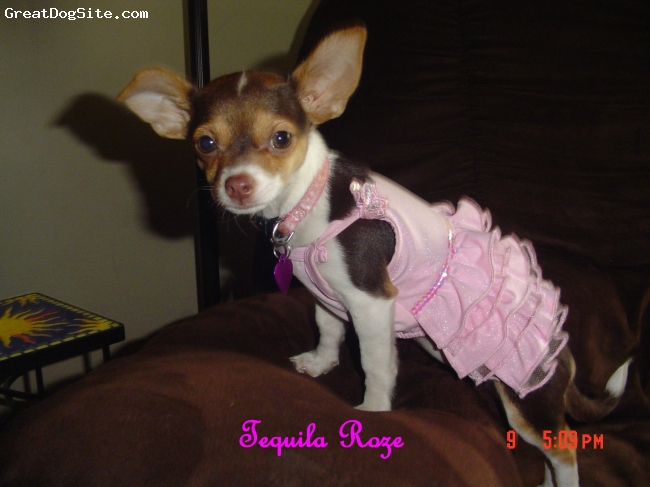 Chihuahua, 1 year, Chocolate, White, Tan, Tequila Roze the most Beautiful Chihuahua ever.