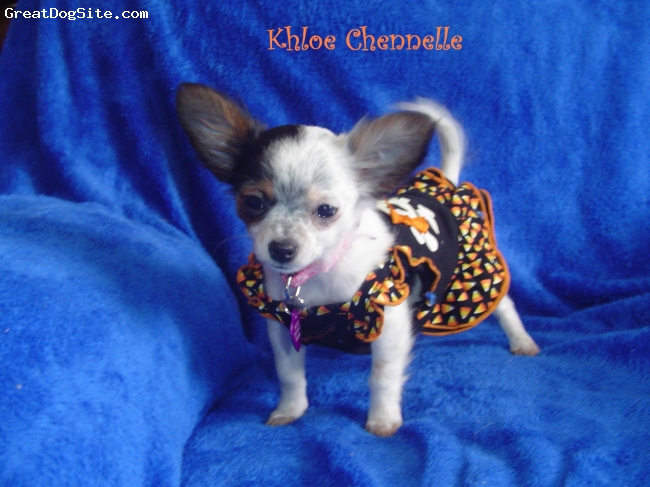Chihuahua, 6 Months, White, Black, Tan, Khloe Chennelle is a very happy outgoing puppy.  Loves to be cuddled and play with kids.