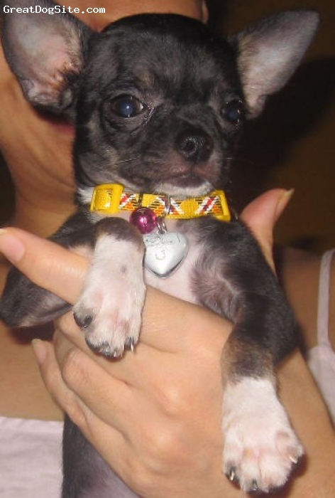 Chihuahua, 3 and half mos, black, Our little boy Zorro,he is so adorable and playful,we love him...