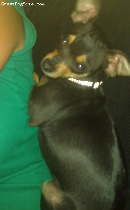 Chihuahua, 2 years, black, he is a pure chihwawa and is very loving to me but extremely agressive to everyone else