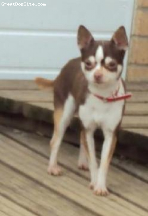 Chihuahua, 18 Months, Chocolate Tri-colour, This is our man Tiny, puppies available from him at the present time and available for Stud.