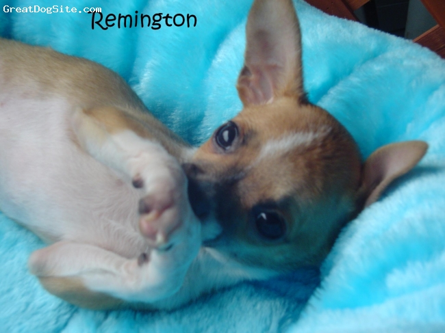 Chihuahua, 12 weeks, Tan and White, Remi is a happy very playful puppy. Fun to watch him run all over.