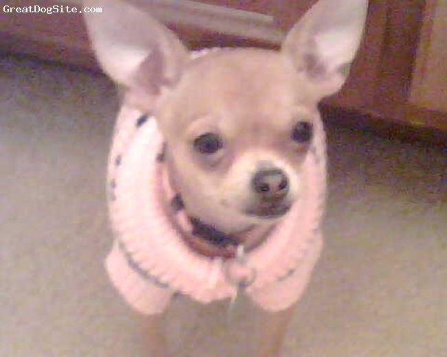 Chihuahua, 1yr 6months, Tan, Daisy in her favorite sweater