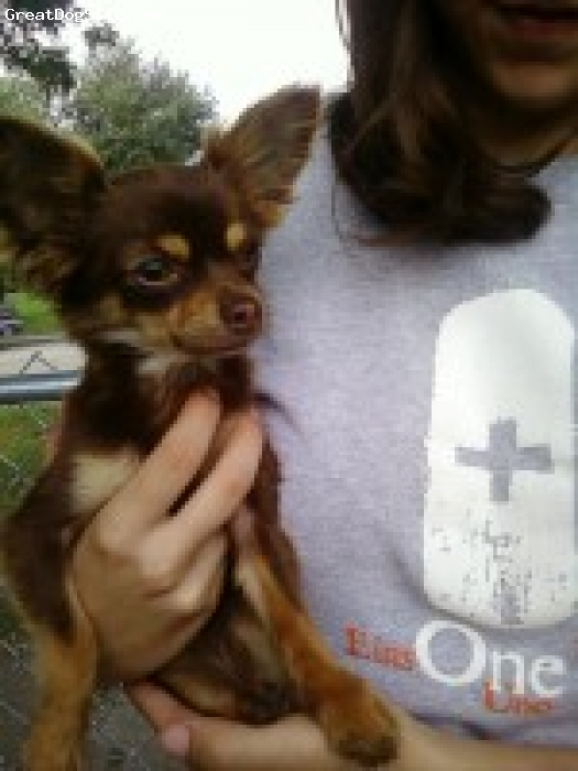 Chihuahua, 2.5 yrs, red/brown, Molly is the most loveable and cuddly little 3 lb long haired chi.   she is calm and just loves to put her head on your shoulder