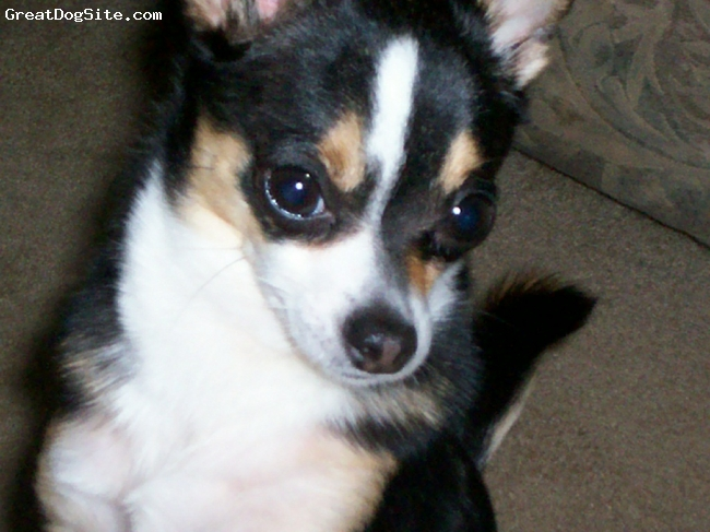 Chihuahua, 1 year 9 months, tri-color, tan/black/white