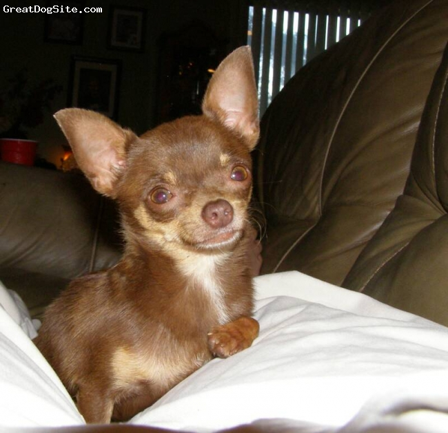 Chihuahua, 2 years, Chocolate and Tan, Co Co is a sweet little baby!