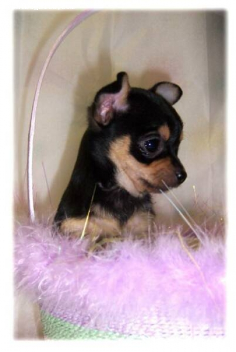 Chihuahua, 8 weeks, BLACK AND TAN, adorable-sweeter than candy!