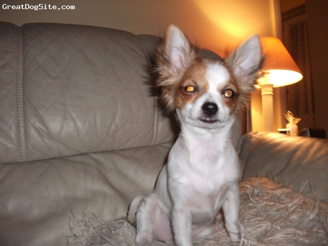 Chihuahua, 1, tri, long haired and fullof fun,her best buddie is our male jack russell Alan