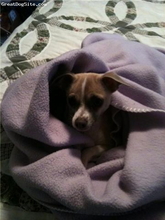 Chihuahua, 18 months, tan and white, Stewie turned me into a dog lover!!!  He loves to burrow under the covers or wraps a blanket around him.