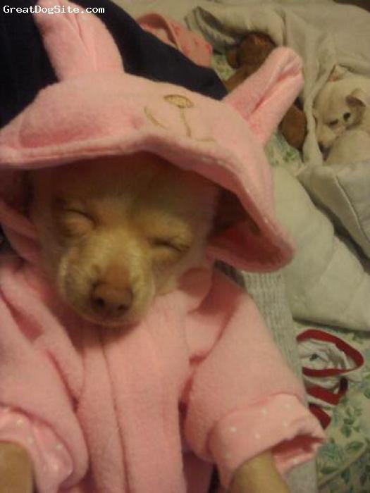 Chihuahua, 6 months, cream, my spunky little cutie! 2lbs