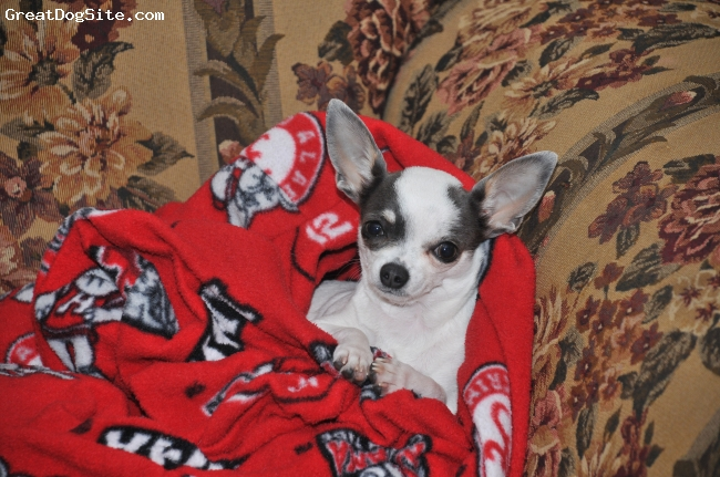 Chihuahua, 1 year, white/black, LuLu says Roll TIde!  Now, bring me my truffles...