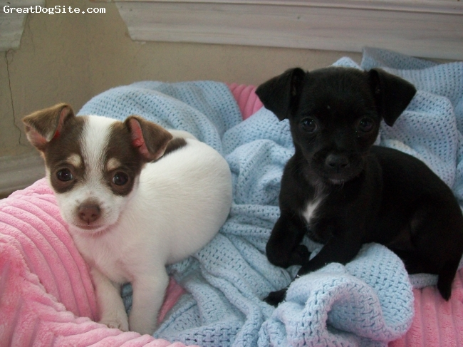 Chihuahua, 5 months, White & Black, These two baby girls are the apples of our eyes. They are from the same litter, but are as opposite as can possibly be! ...lol