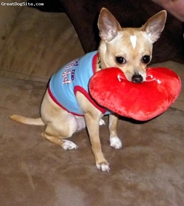 Chihuahua, 10 Months, Tan, Tequila is about 5 lbs. and is 10 months old. She has brought so much joy to our family. She is very loving and playful. She is great with my 5 year old twin girls.