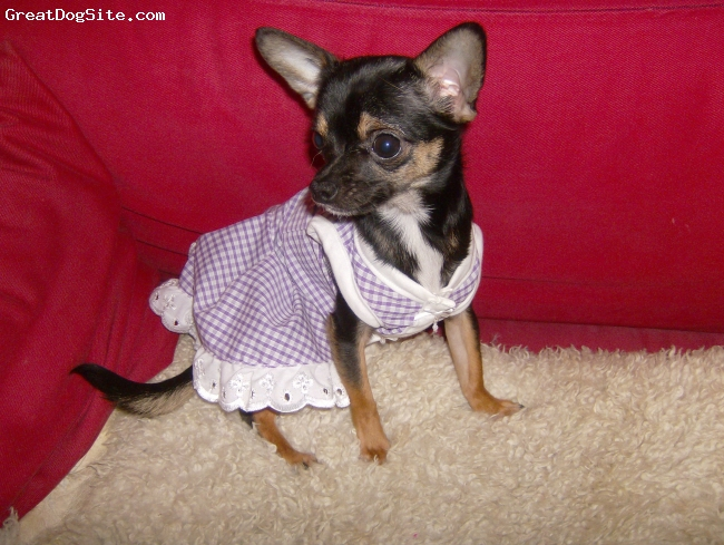 Chihuahua, 3, tricolour, loves dressing up