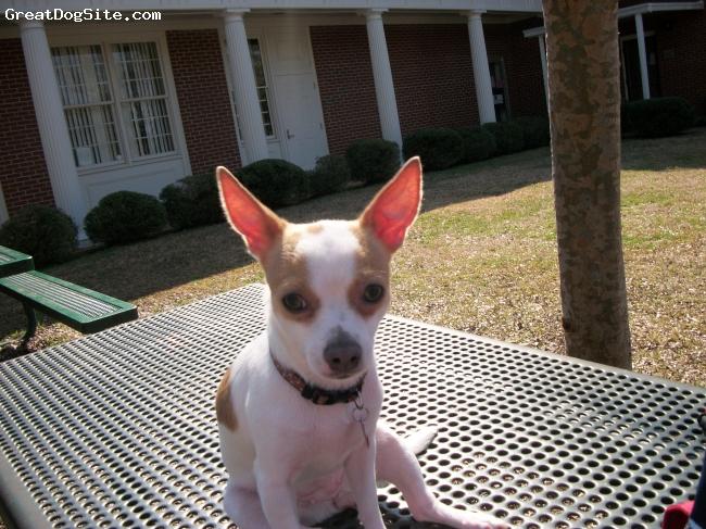 Chihuahua, 1, Fawn, My Bella at the Park