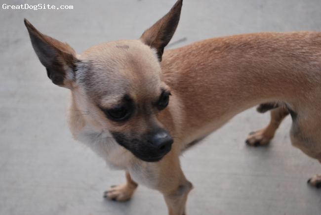 Chihuahua, 2, tan, so cute looks like a little deer.
