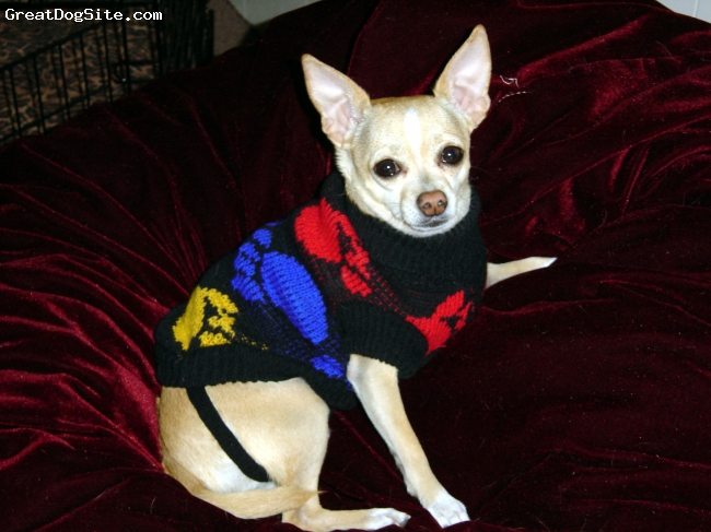 Chihuahua, 9 yrs, fawn/white, Rambo one of my fur kids...I have 3...he's a little sweetheart and always has been from day one...hope he has a long life with me.