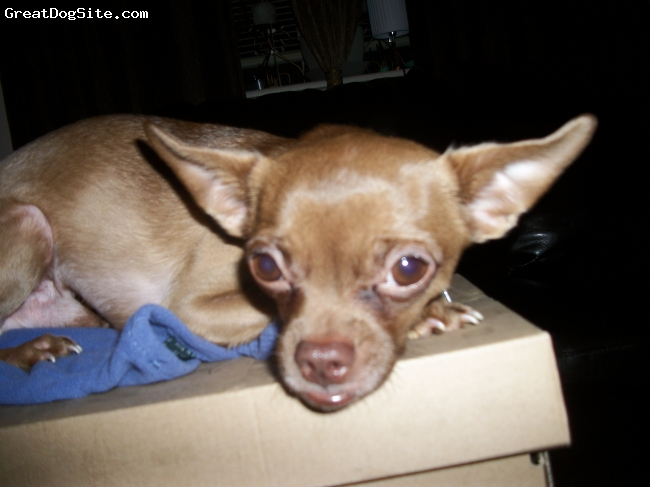 """Chihuahua, 5.5 years old, Brown, His nickname is """"LOVER""""."""